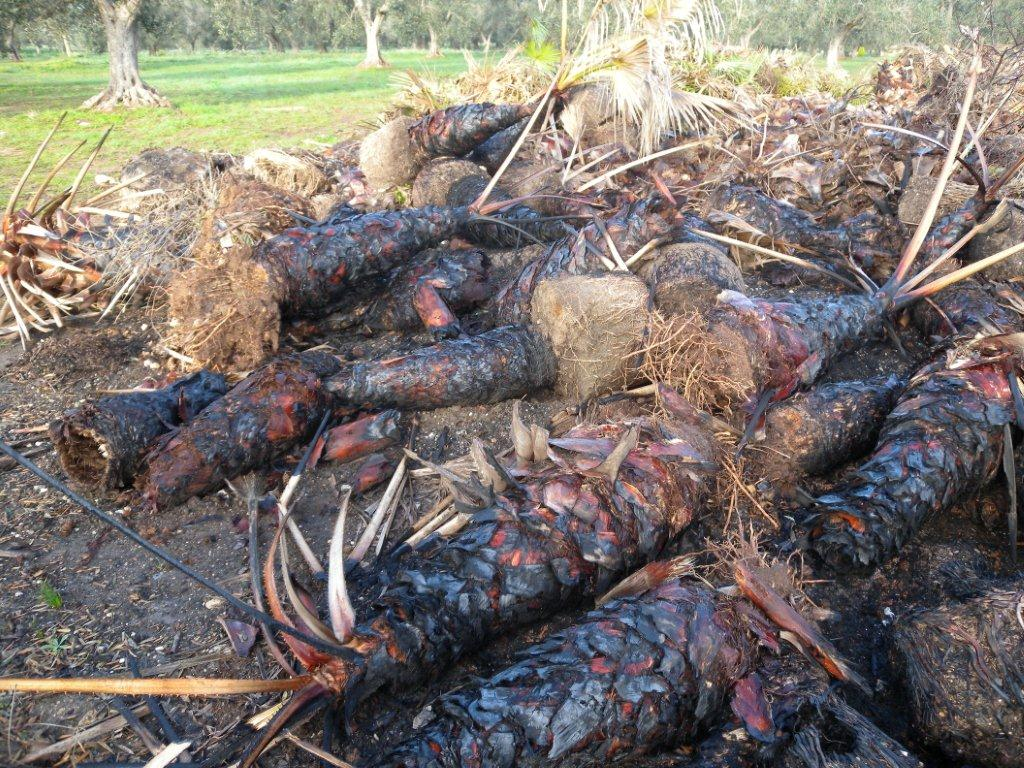 Vivai Rosso Antonio : San donaci palme malate di punteruolo rosso stoccate sequestrato