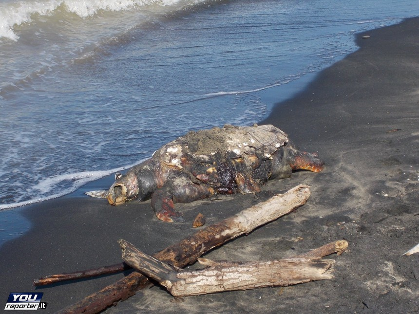 Matrimonio Spiaggia Margherita Di Savoia : Margherita di savoia la tartaruga gigante spiaggiata e