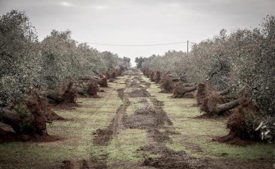 torchiarolo ulivi sradicati 1