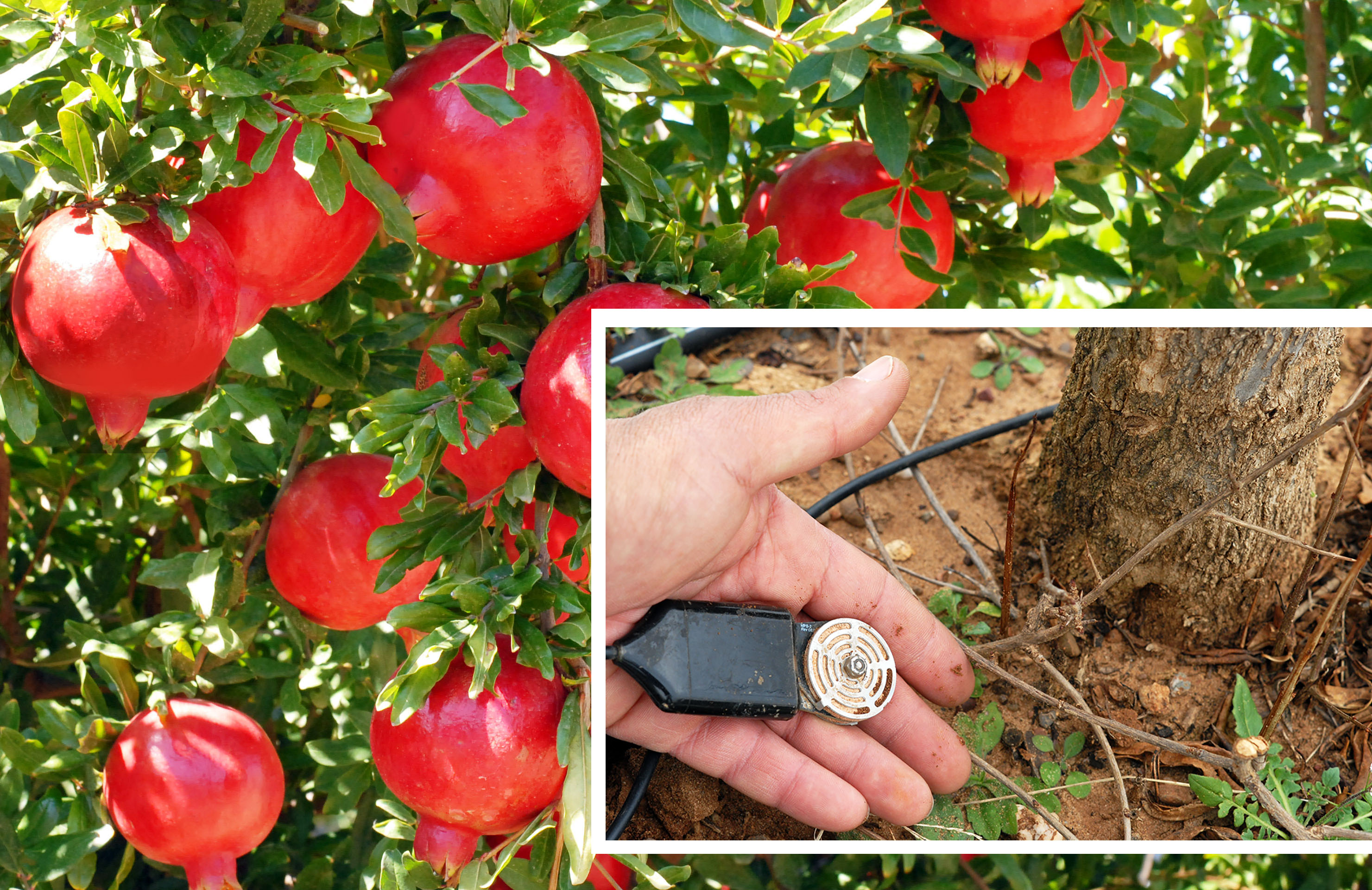 Sensore in campo Melagrano Masseria Fruttirossi Marco Amatimaggio